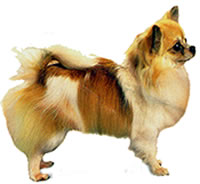 full body profile photograph of long haired Chihuahua