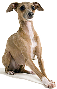 full body photograph of a sitting Italian Greyhound Toy breed dog