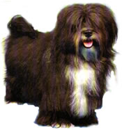 full body photograph of a brown Havanese Toy breed dog