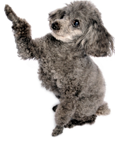 photo of gray toy poodle sitting up and shaking his paw