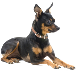 color photo of Miniature Pinscher sitting on his four paws