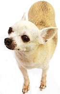 full body photograph of short haired Chihuahua