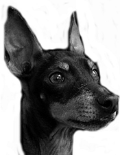 striking face photograph of black and tan Toy Manchester Terrier