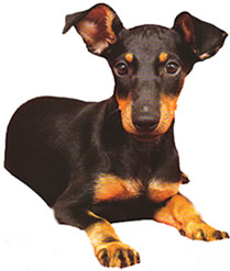 photograph of black and tan Toy Manchester  Terrier sitting down
