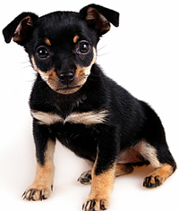 full body photograph of black and tan Miniature Pinscher puppy