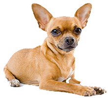 phtograph of a tan Chihuahua sitting down on a white background