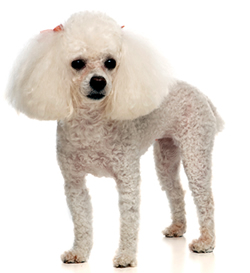 full body photo of white Toy Poodle