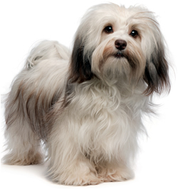 full body havanese