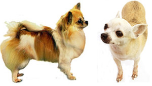 Long and smooth coat Chihuahuas