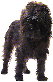 full body photo of Affenpinscher dog