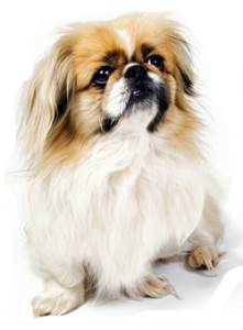 full-peke-dog